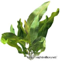 水草:アポノゲトン・ベルニエリアヌス