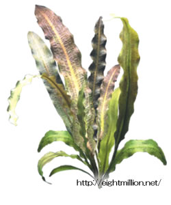 水草:アポノゲトン・リギディフォリウス