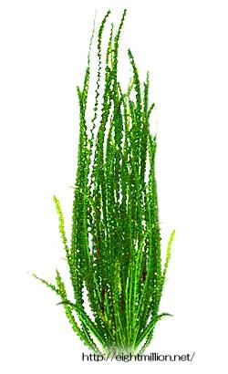 水草:クリナム・アクアティカ・ナローリーフ
