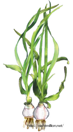 水草:クリナム・タイアナム