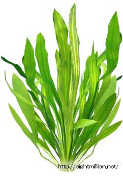 水草:エキノドルス・ウルグアイエンシス