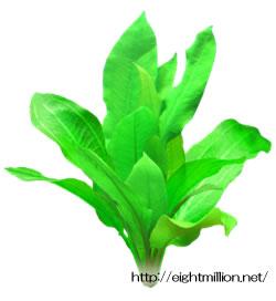 水草:エキノドルス・オシリス(メロンソードプラント)