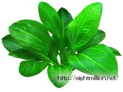 水草:エキノドルス・オパクス(キューピーアマゾン)