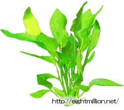 水草:エキノドルス・パラエフォリウス (メキシカンソードプラント)