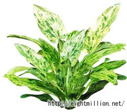 水草:エキノドルス・マーブルクイーン