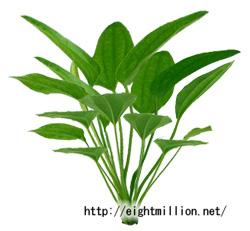 水草:エキノドルス・ラディカンス