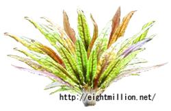 水草:クリプトコリネ・ウンデュラータ