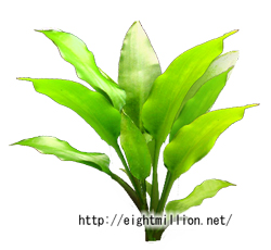 水草:クリプトコリネ・キリアータ