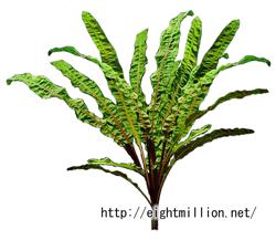 水草:クリプトコリネ・バランサエ