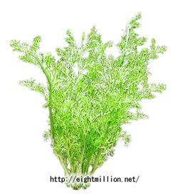 水草:アメリカン・スプライト