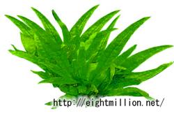 水草:ミクロソリウム