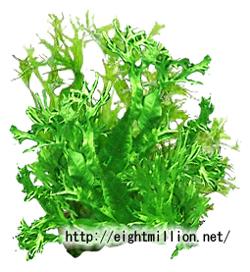 水草:ミクロソリウム・ウェンディーローブ