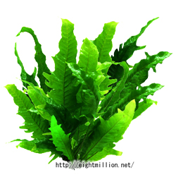 水草:ミクロソリウム・トロピカ