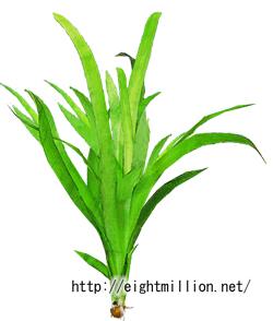 水草:サジタリア・ロンギロバ