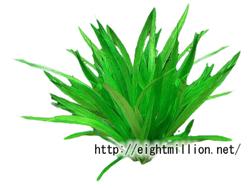 水草:ピグミーチェーン・サジタリア