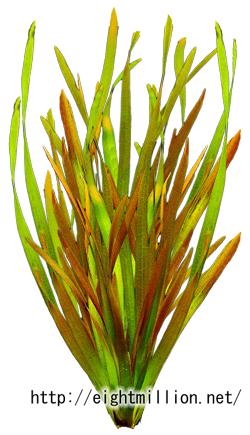 水草:バリスネリア・ルブラ