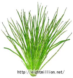 水草:ミズニラ