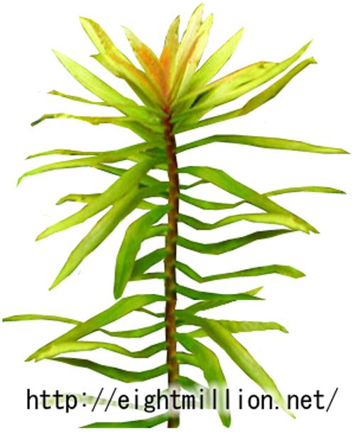 水草:イエローアマニア(アマニア・ラティフォリア)
