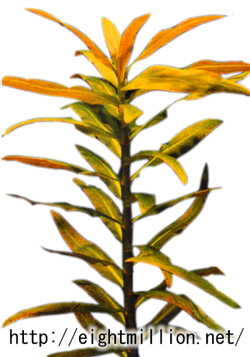 水草:ジャイアント・アマニア