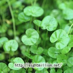 水草:アオイゴケ
