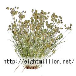 水草:アオテンツキ