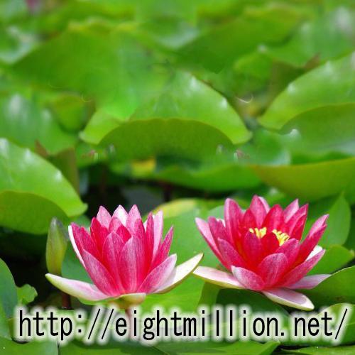 水草:アカバナヒツジグサ