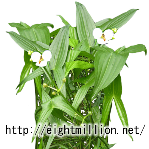 水草:アギナシ
