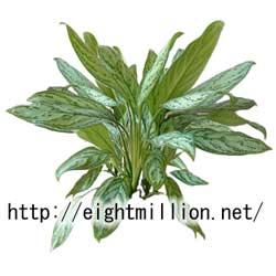 水草:アグラオネマ・シルバークイーン