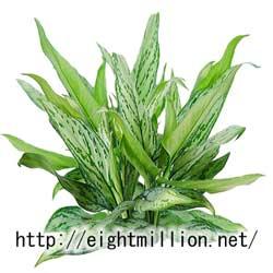水草:アグラオネマ・シルバーキング