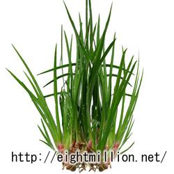 水草:アコルス・プシルス