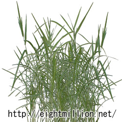 水草:アシ