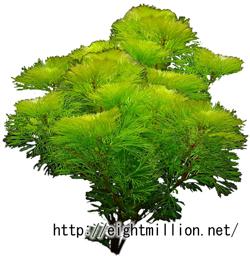 水草:イエローカボンバ