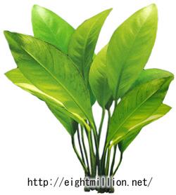 水草:アヌビアス・グラブラ