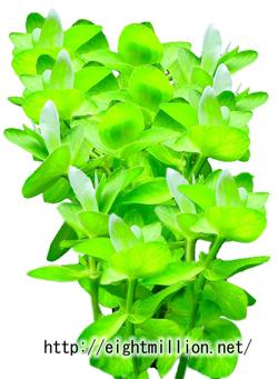水草:イエローバコパ