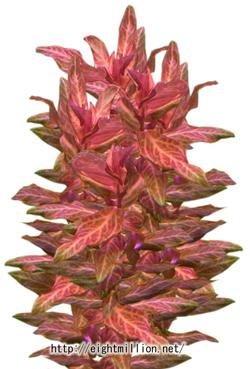 水草:ロタラ・マクランドラ斑入り