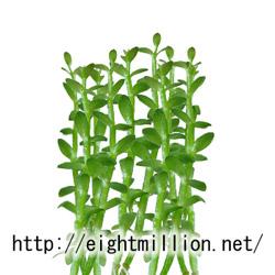水草:アブノメ