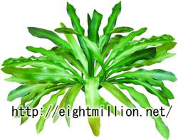 水草:アポノゲトン・ウンデュラータス