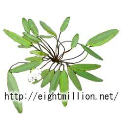 水草:アポノゲトン・クリスタキウス
