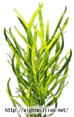 水草:ツー・テンプル