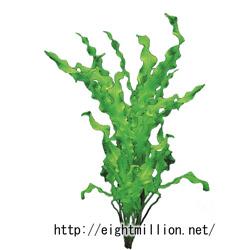 水草:アポノゲトン・モノストラキウス