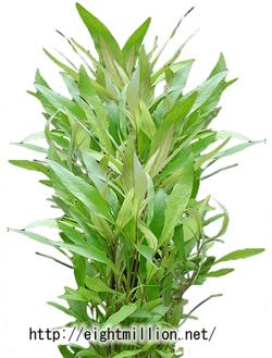 水草:ハイグロフィラ・シアメンシス