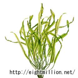 水草:アポノゲトン・ロンギプルムロスス
