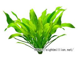 水草:アマゾンソード・プラント