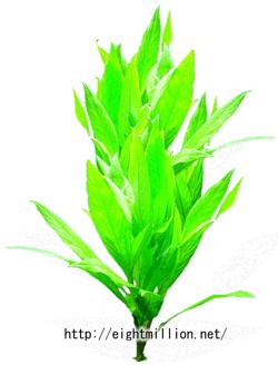 水草:ボーグハイグロフィラ