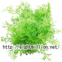 水草:アメリカンスプライト・ベトナム