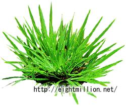 水草:アリスガワセキショウ