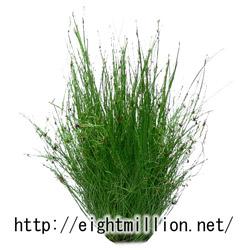 水草:アンブレラプラント