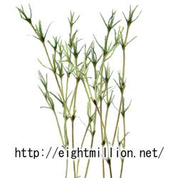 水草:イバラモ