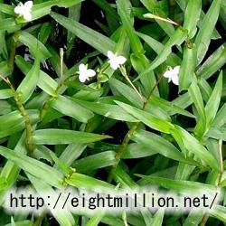 水草:イボクサ