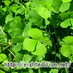 水草:ウォータークローバー